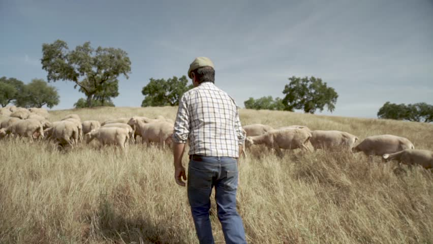 Shepherd and his sheep in the country-side, Rural Alentejo Portugal