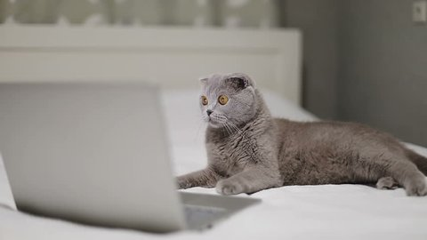Scottish Fold cat is watching a movie on a laptop. A serious gray animal lies on the bed and works on the computer. Slow motion.