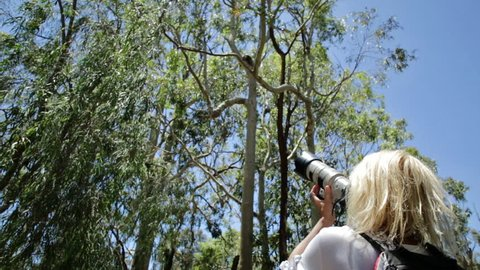 Wildlife woman taking pictures of a Koala while sleeping on a branch of eucalyptus in Yanchep National Park, Western Australia. Travel female photographs outdoor a Koala on a tree.