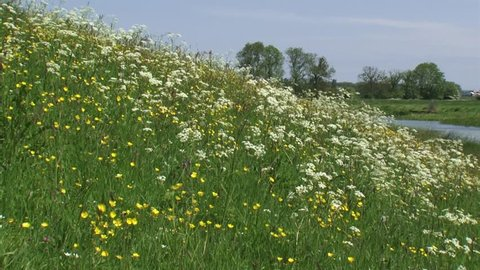 Buttercup and cow parsley, blooming roadside flora on the slope of a river dike.  IJSSEL, THE NETHERLANDS