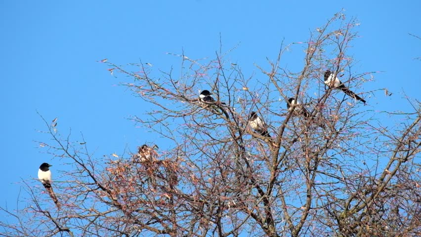 Magpies sit on the top of a tree and then one fly away (Pica pica)