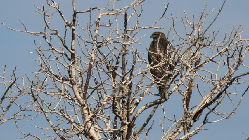 A beautiful red tailed hawk sits perched in a tree looking for food