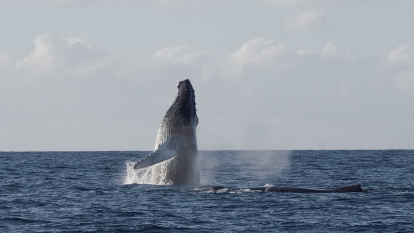 Extremely rare shot of a full Humpback Whale breach. Super slow motion. 4K UHD,