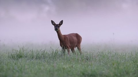 Roe deer stand in the morning fog, summer,  (capreolus capreolus)