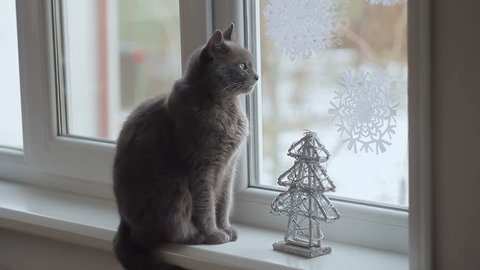 Gray cat of the breed Russian blue looks out the window at the falling snow