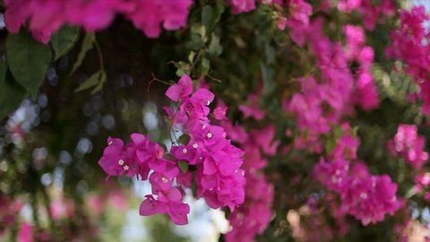 Beautiful winding liana with pink flowers against the blue sky. Bougainvillea