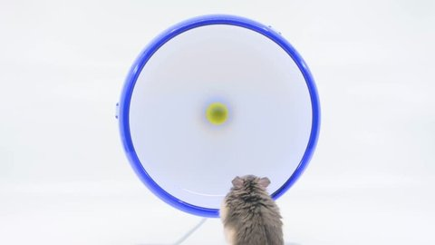 Hamster thinking about running on wheel, avoiding it with quick runs in between on white background.