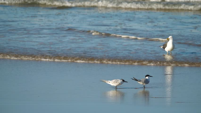 4K Pair of skate tern (Thalasseus sandvicensis) on the edge of the beach. Behind them, a yellow-legged gull (Larus michahellis) goes flying. The waves of the sea reach the sand of the beach