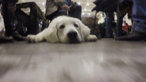 Golden retriever dutifully lying on floor of bus station guarding owners stuff