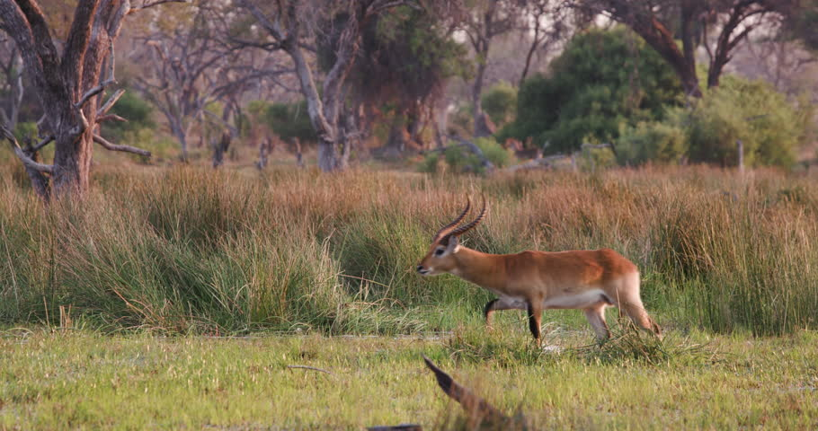 Header of lechwe
