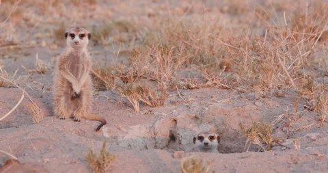 Three meerkats emerging from burrow in the early morning, Botswana