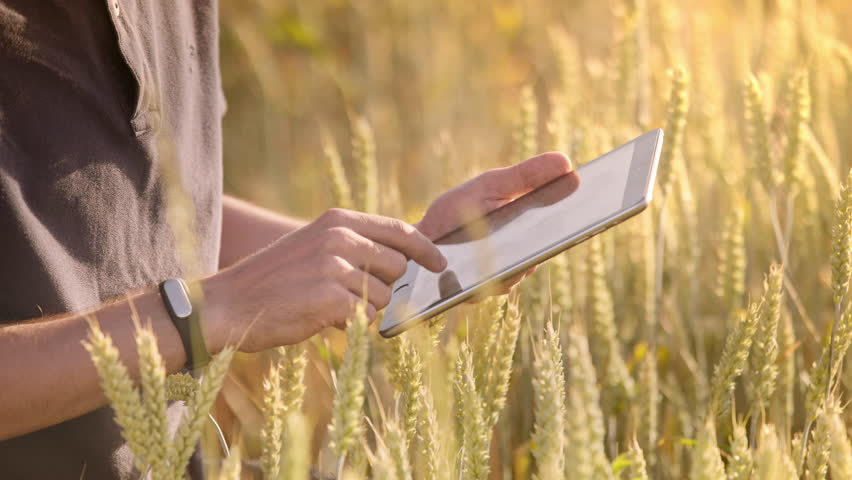 Farmer using tablet in wheat field. Scientist working in field with agriculture technology. Close up of man hand touching tablet pc in wheat stalks. Agronomist researching wheat ears