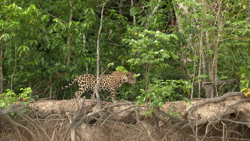 Jaguar (Panthera onca)  in search of prey along riverbank  looking for prey, in the Pantanal wetlands, Brazil.