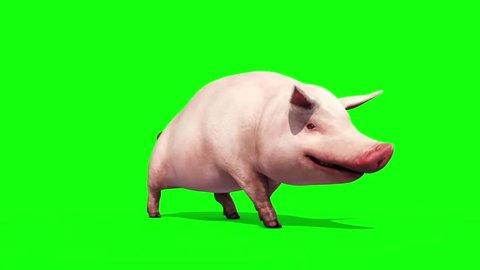 Pig Animal Farm Walkcycle Green Screen 3D Renderings Loop Animations