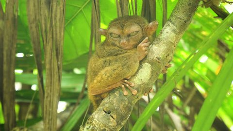 Tarsier on the tree. Tarsier sitting on a branch with green leaves, the smallest primate Carlito syrichta. Tarsier in natural living environment. Bohol island, Philippines.