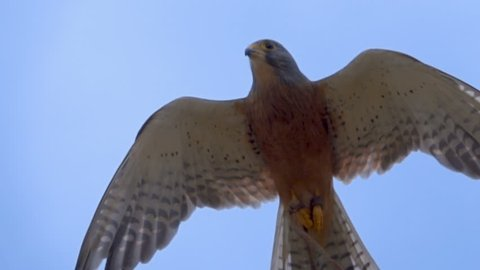 Close shot of Rock Kestrel hovering in frame in slow motion looking down at camera