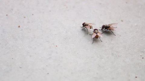 Housefly / Fly Insect Group