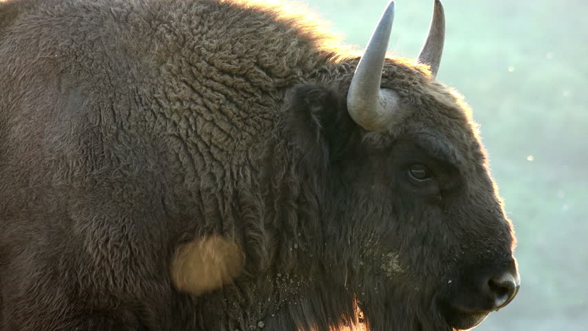 Wild European bisons or Wisent (Bison bonasus) in the wild, close up