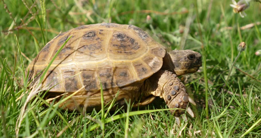 tortoise turtle slowly moving through the scene on green grass walking slow looking at camera old ancient endangered tropical wildlife animal #1007229724