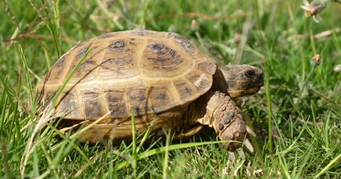 tortoise turtle slowly moving through the scene on green grass walking slow looking at camera old ancient endangered tropical wildlife animal