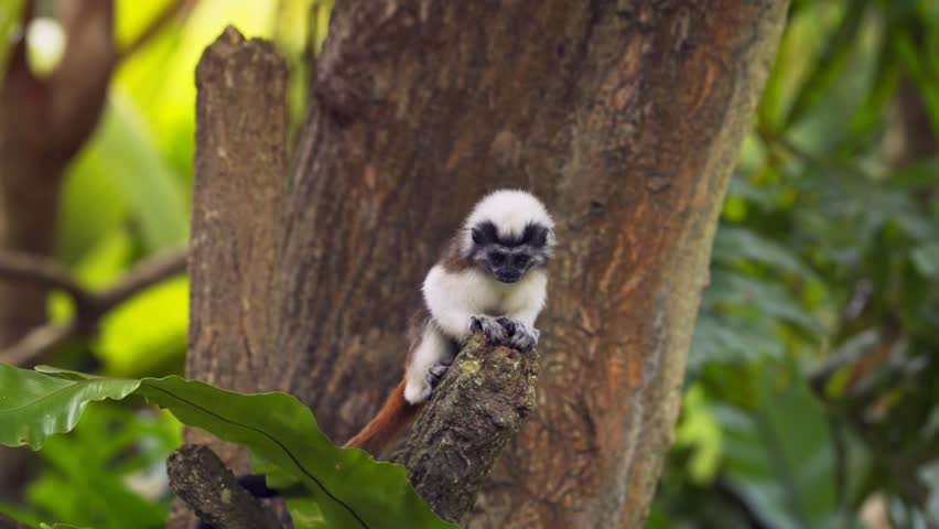 Baby. cotton-top tamarin. with its thick. brown tail and white crest. climbing and leaping from a tree branch. 4k video