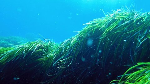 Neptune grass (Posidonia oceanica) swaying in the sea bottom with water currents.