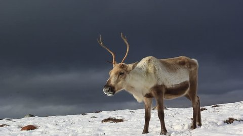 reindeer, Rangifer tarandus, grazing, foraging in the snow on a windy cold winters day on a hill in the cairngorms national park, scotland.