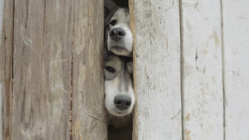 Two dogs looking through a wooden fence. Video. Two hunting dogs standing at the fence in the village. Two Dog Puppies in the cage