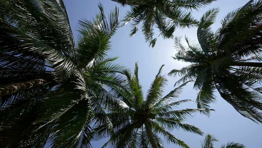 Camera spinning underneath tropical coconut palm trees