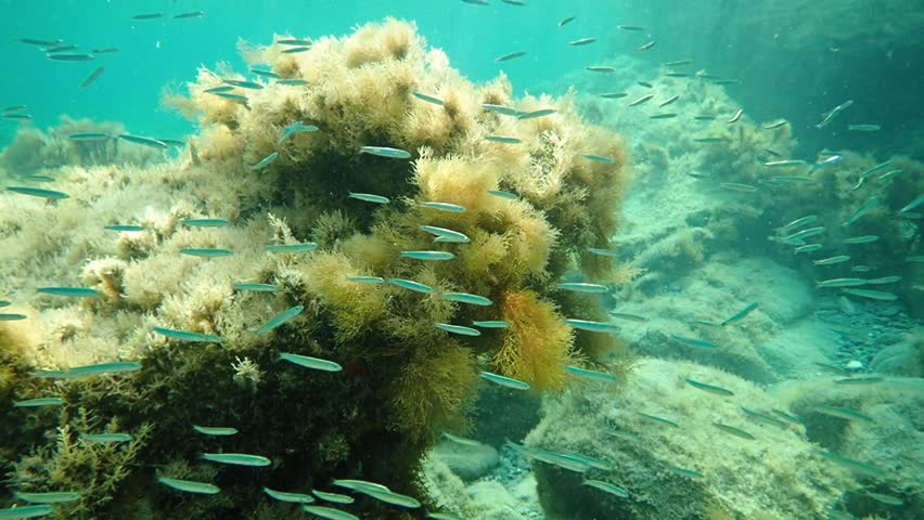 School of small fish and branched brown algae in Mediterranean sea. Slow motion underwater shot.