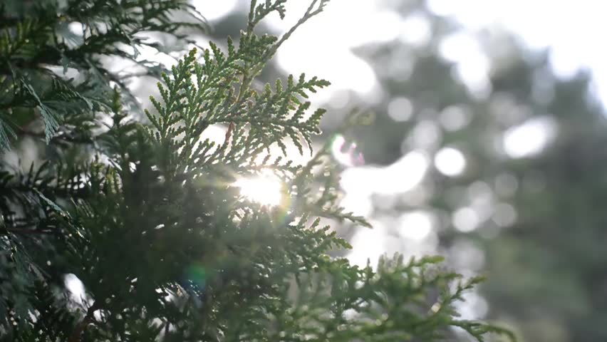 Header of American arborvitae