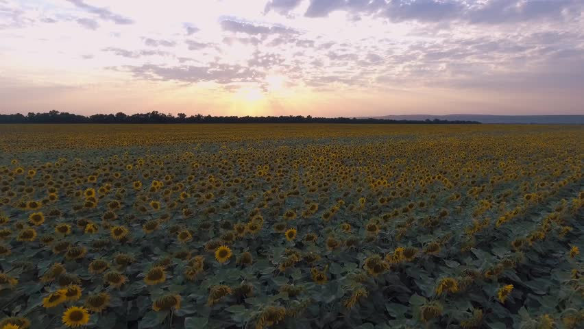 Good background for advertisement of sunflower oil. Shooting from a quadcopter   Shutterstock HD Video #1007550670