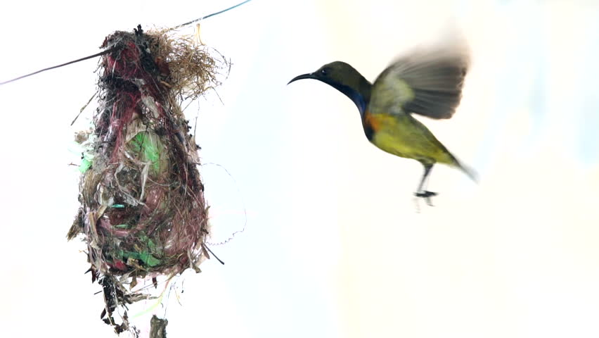 Slow motion of Olive-backed Sunbird family also known Yellow-bellied Sunbird. Common birds in Asia, it reuse scrap for nesting materials. The nest hanging on clothesline.