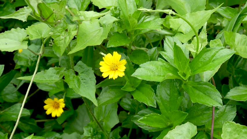 Calendula flower, medicinal plant. Calendula officinalis. | Shutterstock HD Video #1007637184