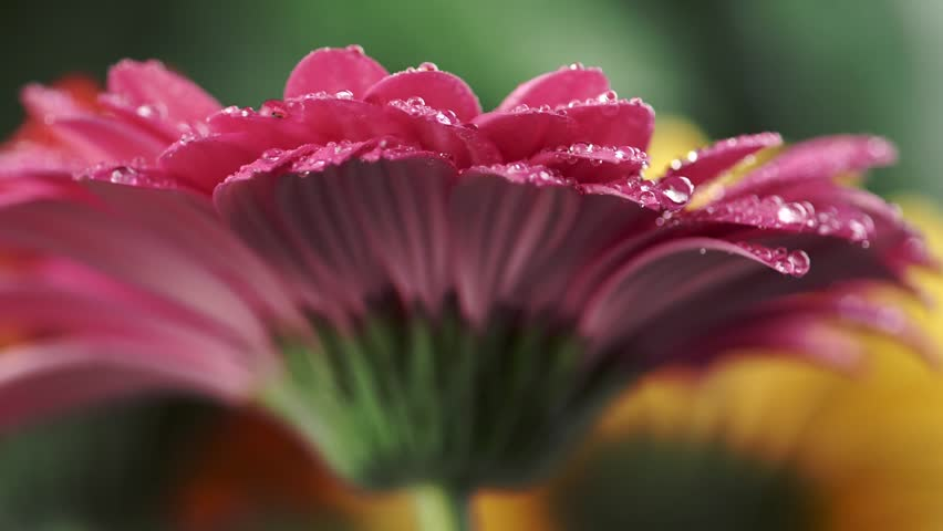 Wet pink daisy gerbera. Water drops falling on petals of flower. Close-up shot.