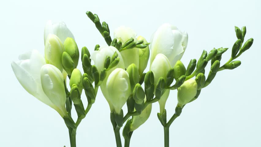 White freesia flower stock video footage 4k and hd video clips white freesia flower stock video footage 4k and hd video clips shutterstock mightylinksfo