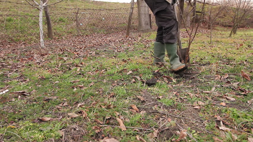 Transplanting new scion with roots, dibble fruit tree. Gardener is using shovel to planting young fruit tree with roots to multiply minor plants in his orchard.
