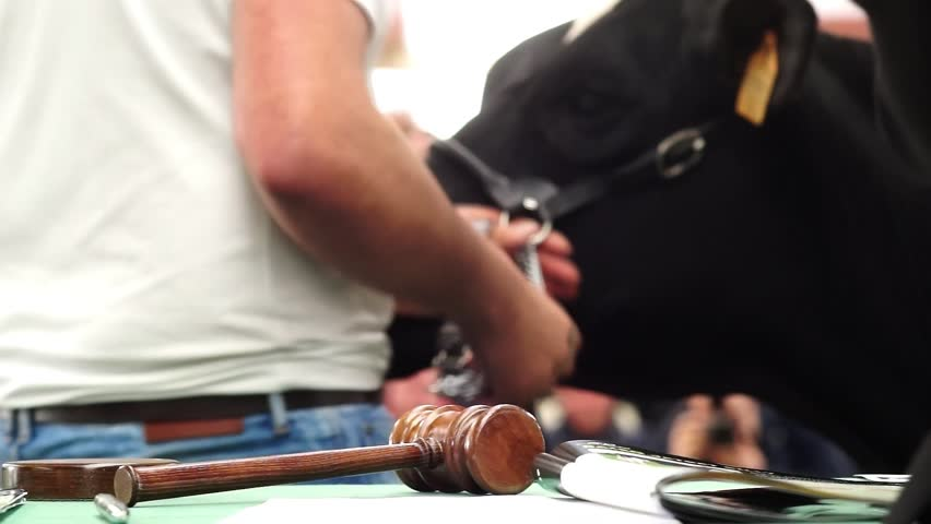 Cattle in sale , cows auction with gavel and mallet | Shutterstock HD Video #1007682967