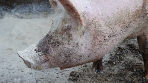 beautiful and nice pig in the farmyard