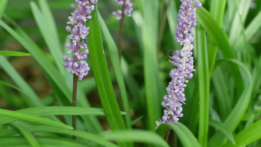 Macro shot of the bee pollinates blossoms of Liriope muscari