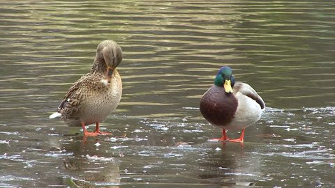 Pair Mallard Wild duck birds by a water surface of wetlands during early spring period