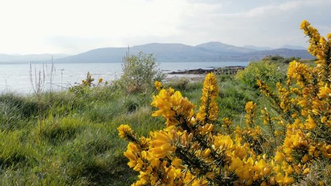 Yellow Flowers at Muckross Lake, Lakes of Killarney, Killarney National Park, County Kerry, Ireland