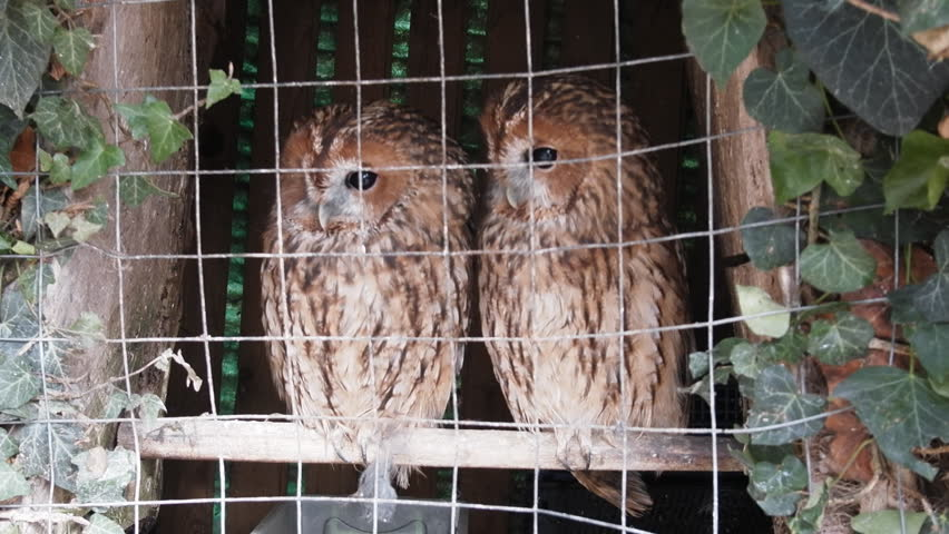 Animals in captivity. Pair of owls (Scops owl) in small private zoo, Freedom birds, bird in cage - animal protection; wildlife protection