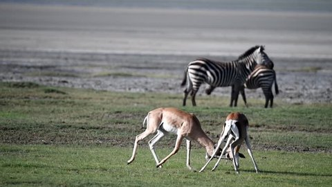 Two male impala fighting (playing) with their horn