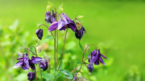 Columbine flower and bumble bee.