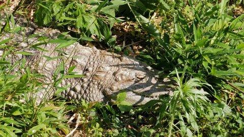 Alligator sleeping in grass