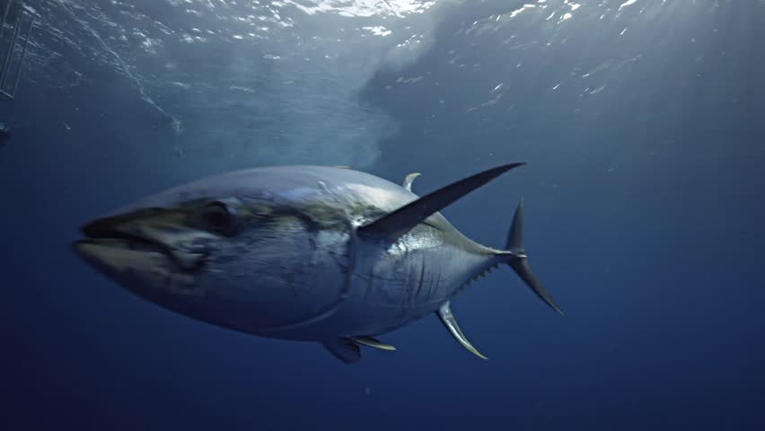 Yellow fin tuna in clear blue water and amazing light in Mexico, Guadalupe Island during great white shark cage diving