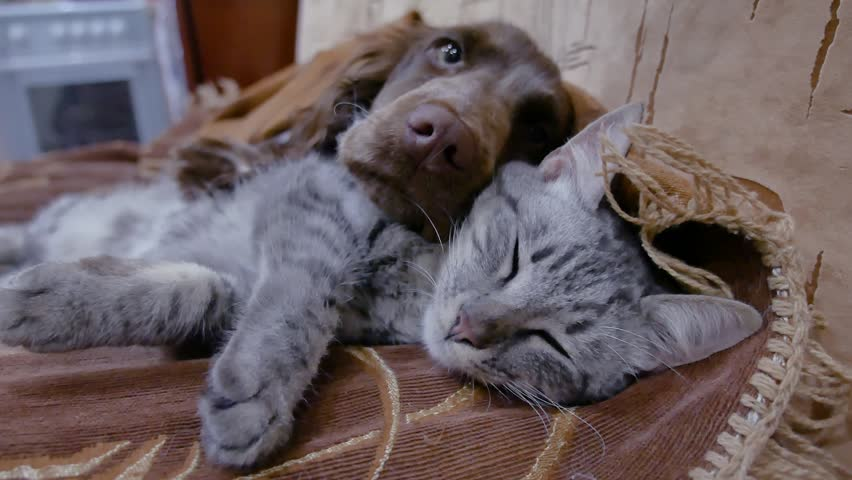 Cat and a dog are sleeping together funny video. friendship cat and indoors dog | Shutterstock HD Video #1007828794