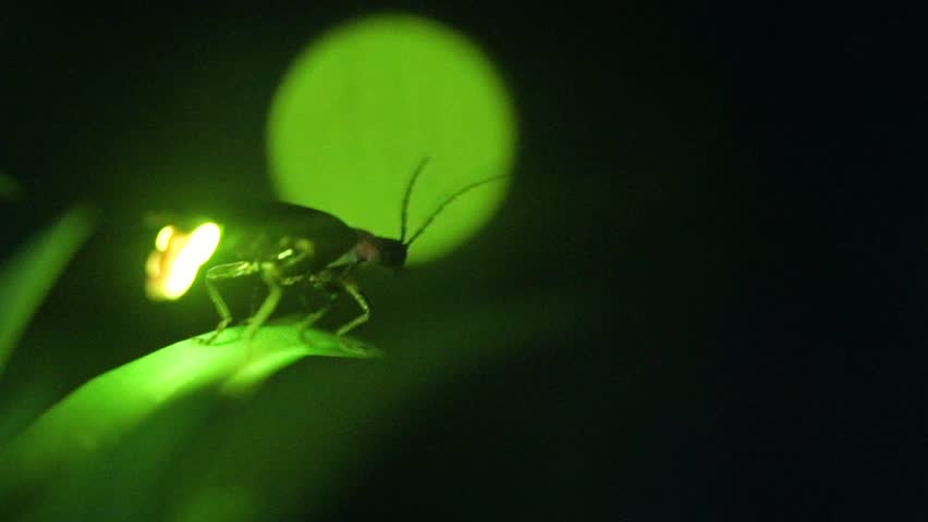 I took a video of the desperately glowing fireflies with a high sensitivity camera. #1007923414