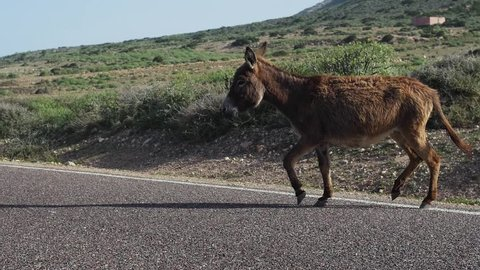 Donkey crossing the road down the coast of Morocco desert